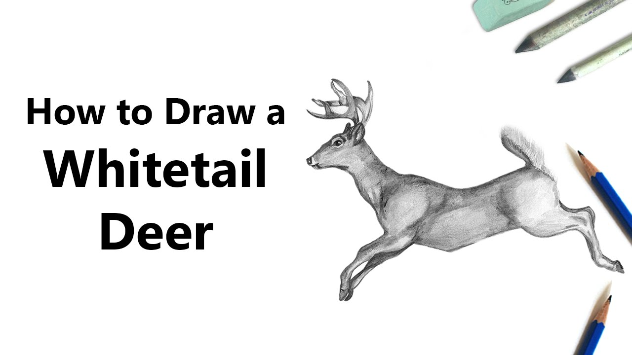 Drawn buck white tailed deer How a Pencils [Time White