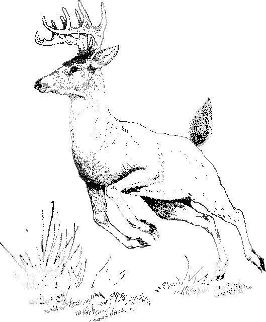 Drawn buck white tailed deer  Text and Artwork