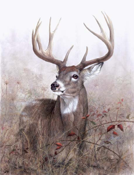 Drawn buck white tailed deer Deer Whitetailed other by Deer