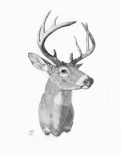 Drawn buck white tailed deer Whitetail Fine draw Art gif