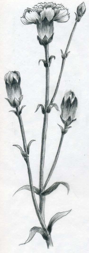 Drawn bud Opened strokes Carnation more far