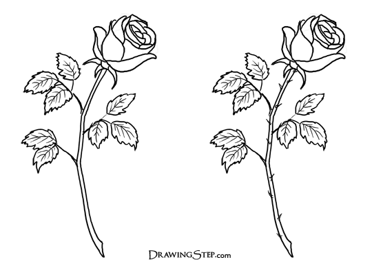 Drawn rose bush single rose Draw a of How how