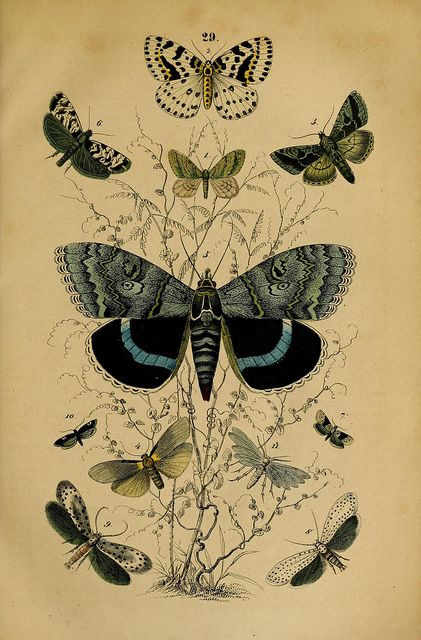 Drawn butterfly natural History 1850 29 Best on