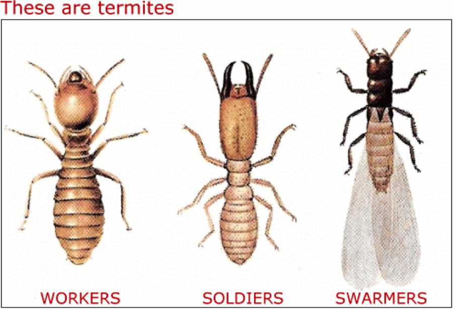 Drawn bugs termite – Prevention 5 Termite Tips