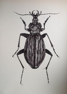 Drawn bugs sketch Beetle Drawing  Insect of