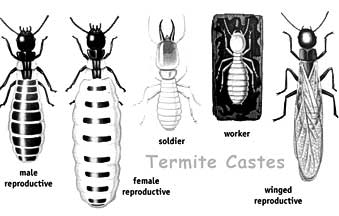 Drawn bugs termite Treatment Pictures workers termites: soldiers
