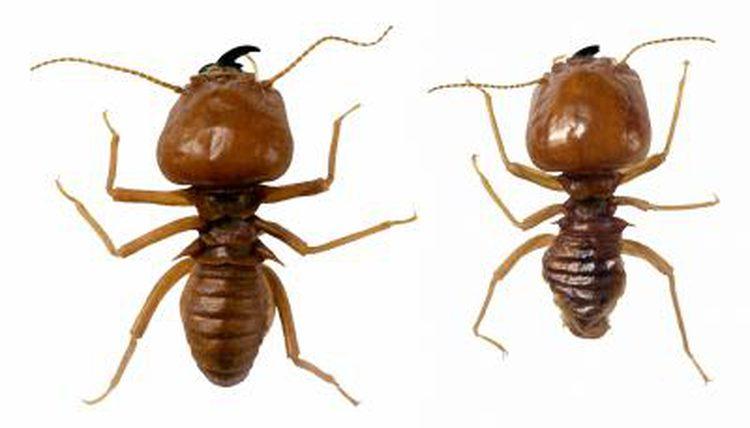 Drawn bugs termite An mom Do X X