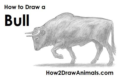 Drawn bull Bull a How Bull Draw