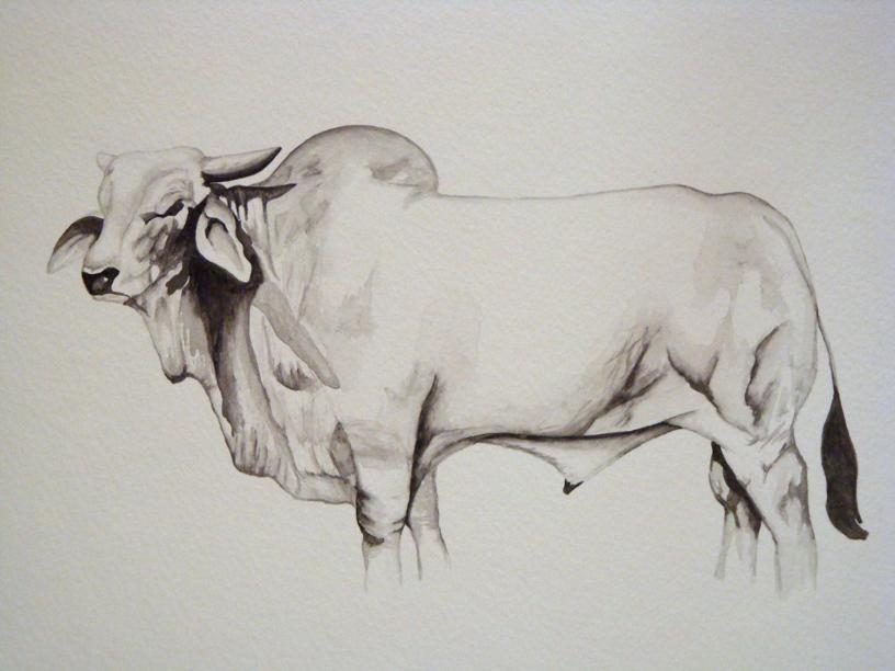 Drawn bull brahma bull Drawn bull bull white Search