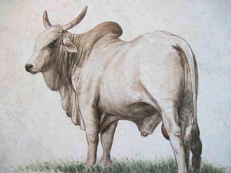 Drawn bull brahma bull Portrait bull tile art Close