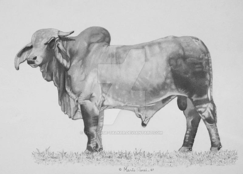 Drawn bull brahma bull Brahman Drawing Brahman drawing Cow