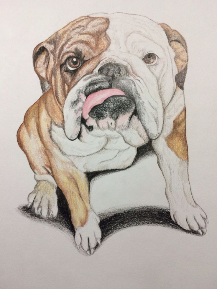 Drawn portrait old english On and bulldogs is a