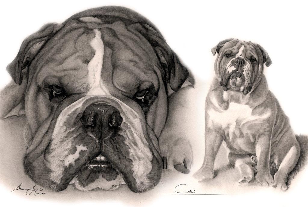 Drawn bulldog pencil drawing On Commission Captured Bulldog 'Sirius'