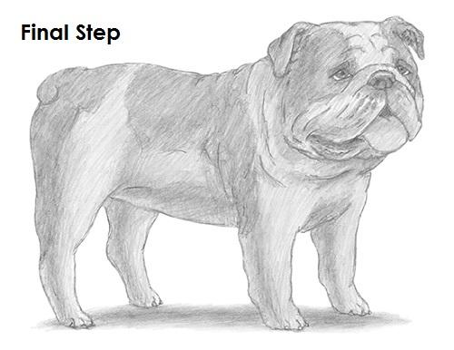 Drawn bulldog pencil drawing Draw How a Draw Last