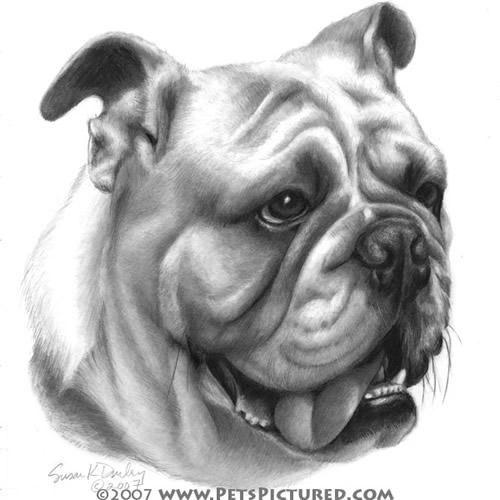 Drawn bulldog pencil drawing Pencil Prints Original Bulldog Bulldog