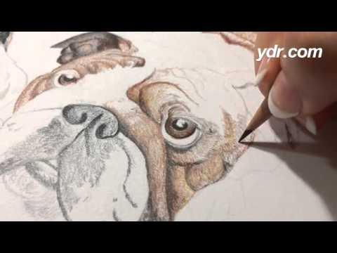 Drawn bulldog pencil drawing # color pencil on are