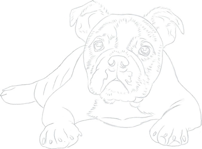 Drawn bulldog pencil step by step To / Dogs / to