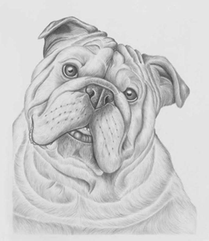 Drawn bulldog pencil step by step  Sale Drawings Pinterest Bulldogs