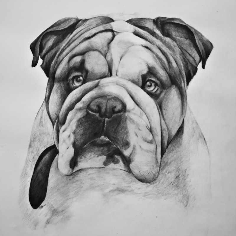 Drawn bulldog sketch Cute Cute Bulldog Concept Home: