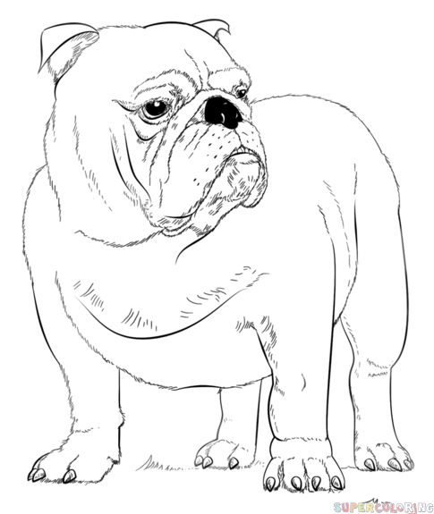 Drawn bulldog sketch By How to to tutorials