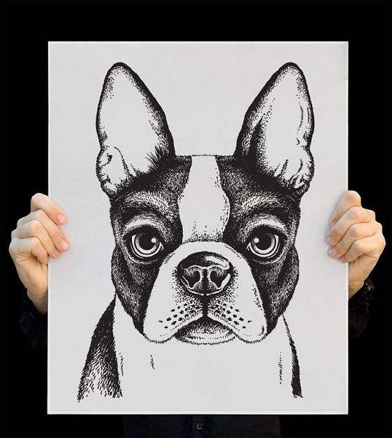 Drawn bulldog sketch Sketch Boston bulldog bulldog Terrier