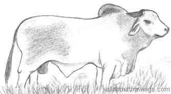 Drawn bulls Bull Drawings in Brahman Drawing