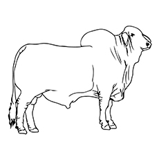 Drawn bull brahma bull Pages Coloring Bull Cute Your
