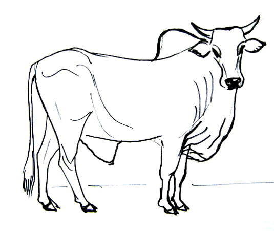 Drawn bulls outline Draw a How bull to