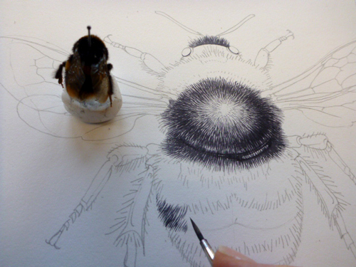 Drawn bumblebee botanical Illustration: Harper Painting Science Lizie