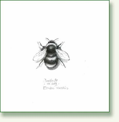 Drawn bumblebee detailed Bumble via Flickr images drawing