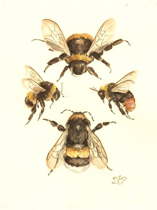 Drawn bumblebee drone bee  Best ideas illustration watercolor