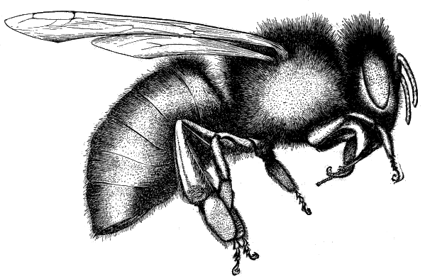 Drawn bumblebee drone bee Eastern Of Types the Bees