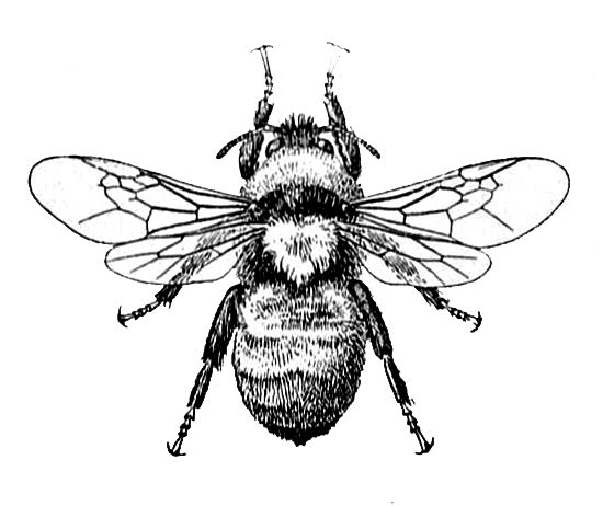 Drawn bumblebee drone bee Worker Pinterest on 25+ Definition