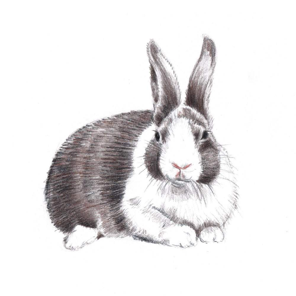 Drawn bunny pencil And for Rabbits Drawing Colored