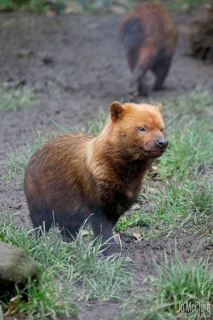 Drawn bush dog fur : guys dog Cuuute actually