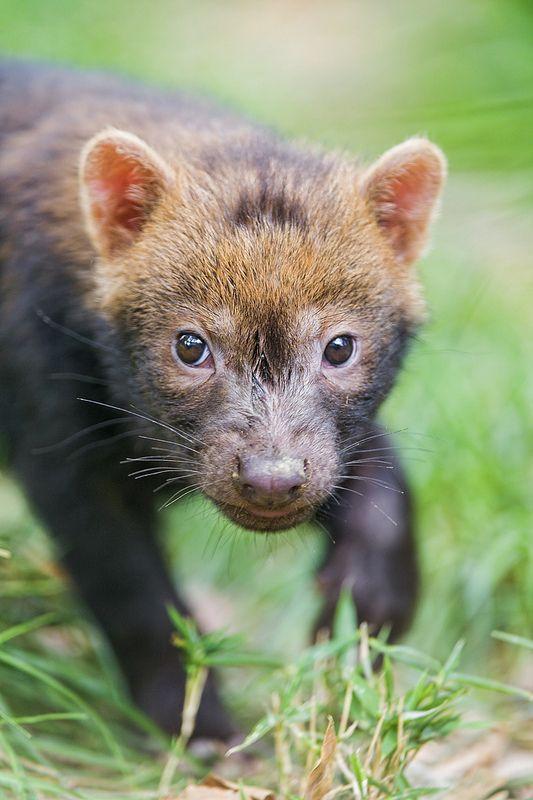 Drawn bush dog fur On baby images at Cánidos
