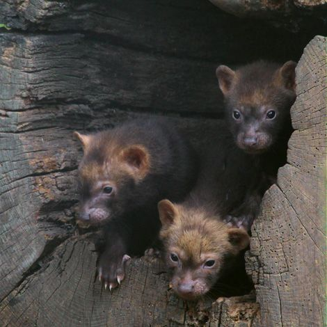 Drawn bush dog fur Images and Neotropicales on best