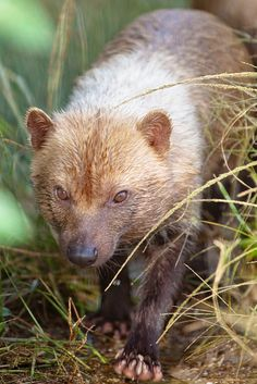 Drawn bush dog fur And venaticus) Canids (Central Central