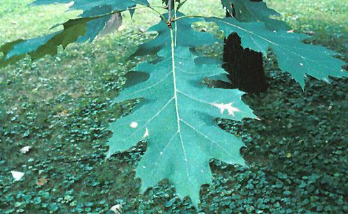 Drawn ivy branch Sp Forest Oak Deciduous )