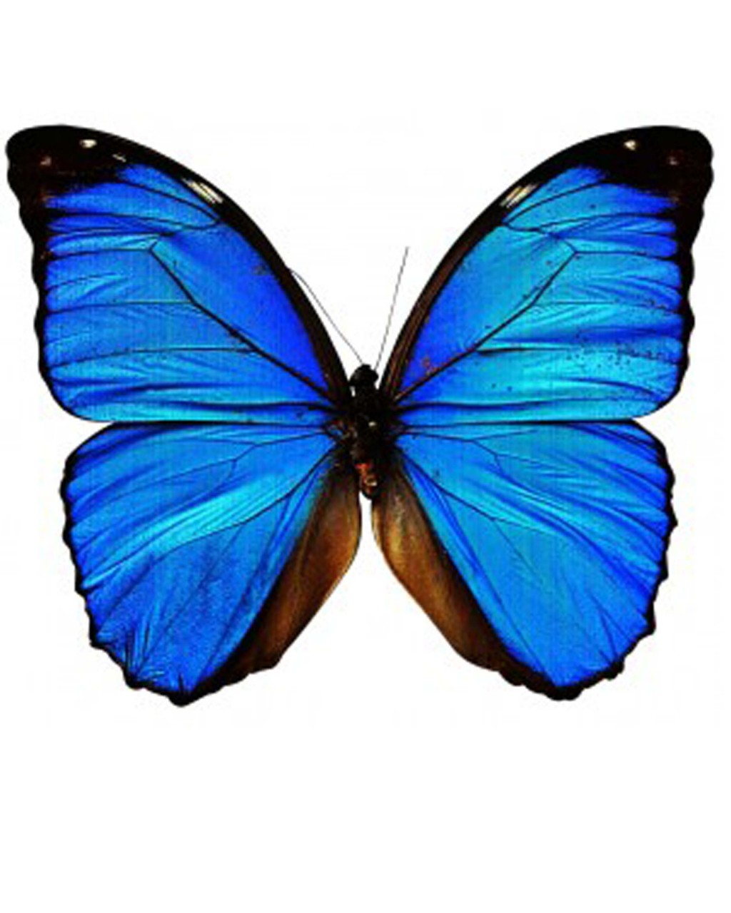 Drawn butterfly blue butterfly Clipart Butterfly Panda Free Clipart