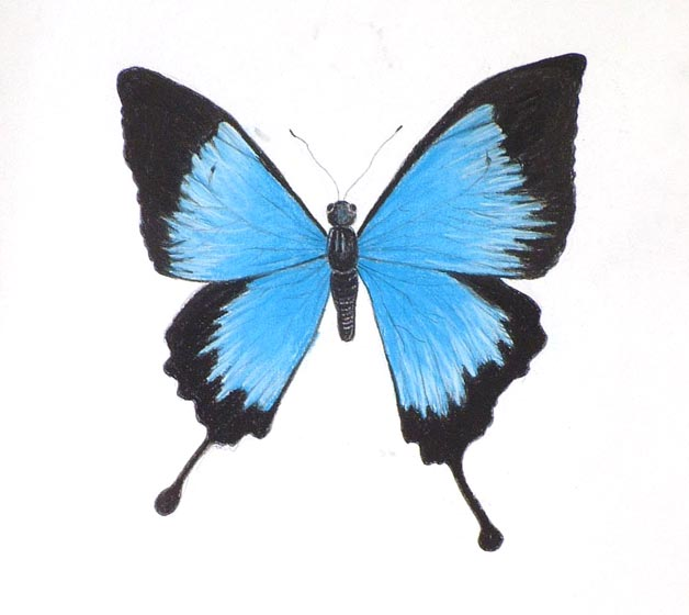 Drawn butterfly blue butterfly Artgallerygate Mountain Pastel more this