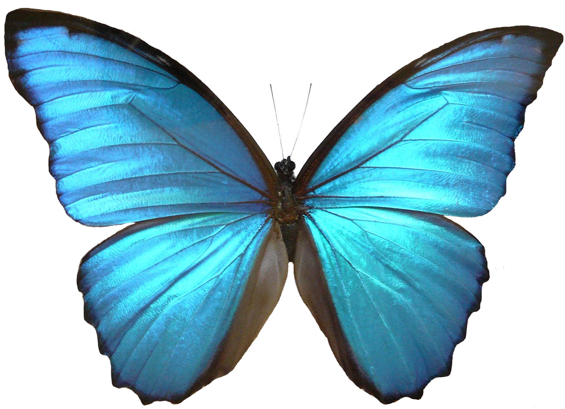 Drawn butterfly blue butterfly Black edged body morpho with