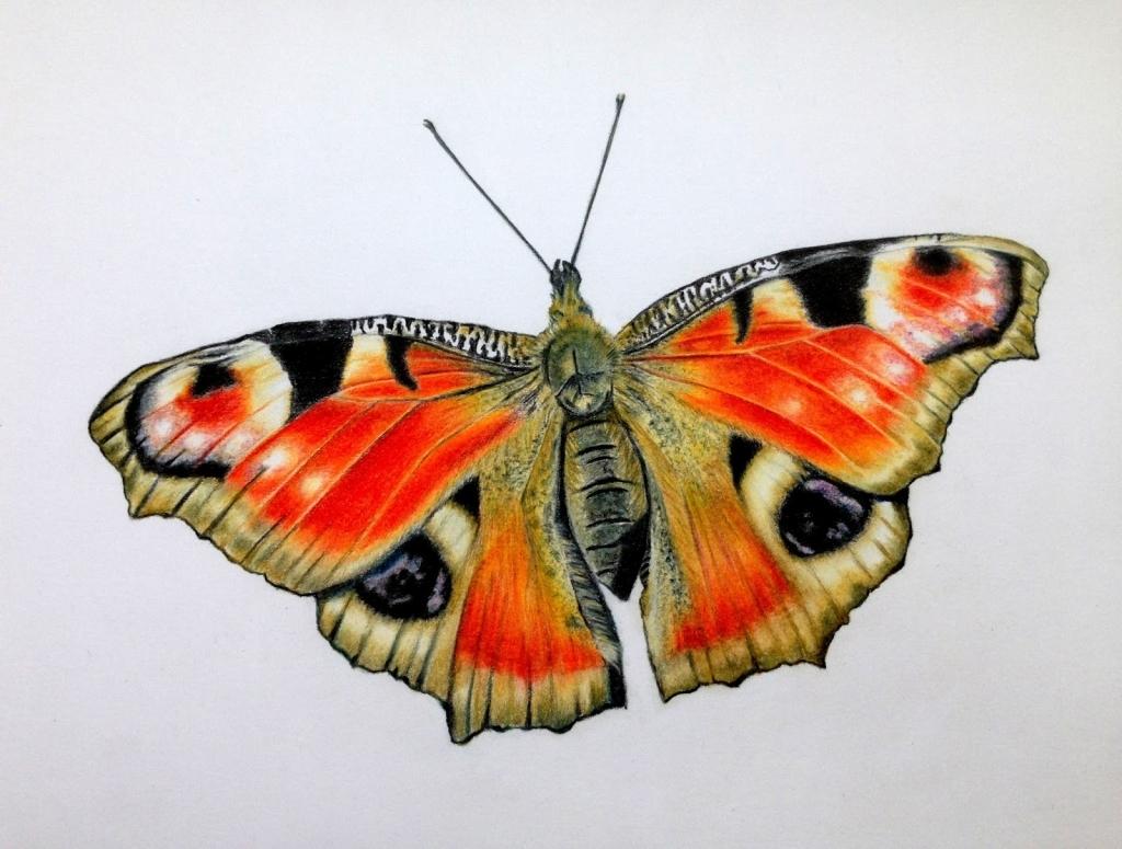 Drawn butterfly colour pencil Butterflies Butterflies With Butterflies