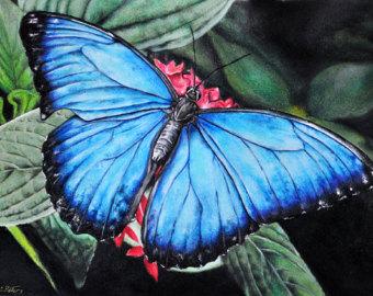 Drawn butterfly colour pencil 8x11 Morpho Inch 8x11 Original