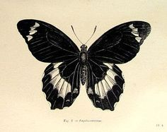 Drawn butterfly ever nature 1860 image Butterfly butterfly plate