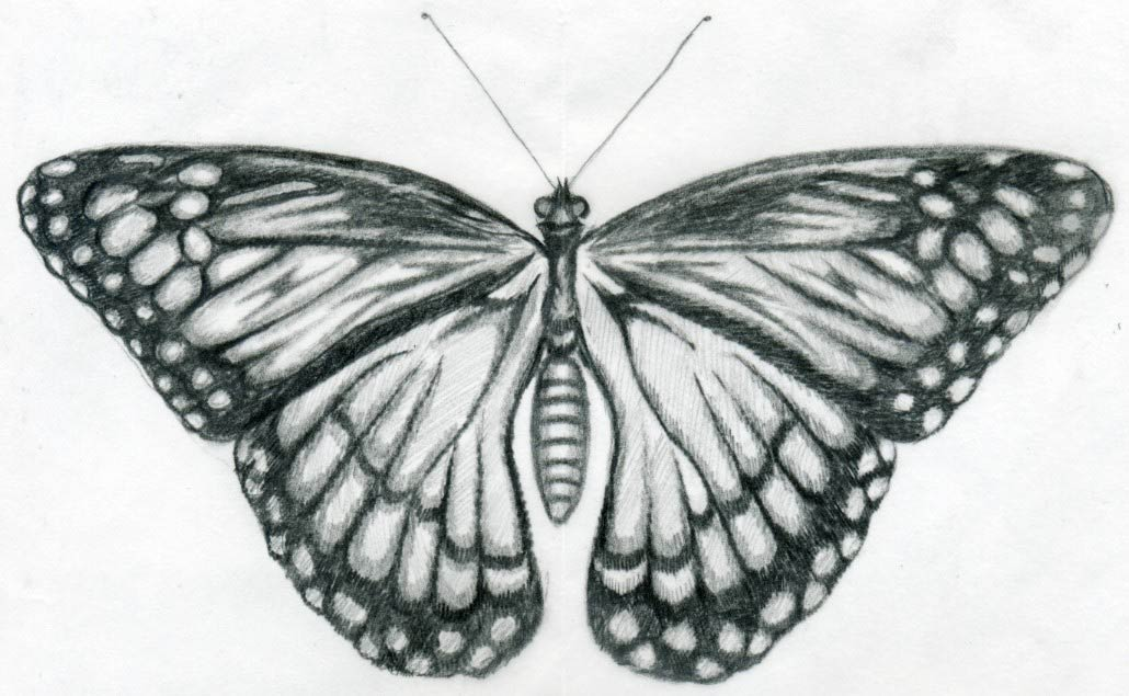 "Drawn butterfly sideways ""print"" Drawings the by wing"