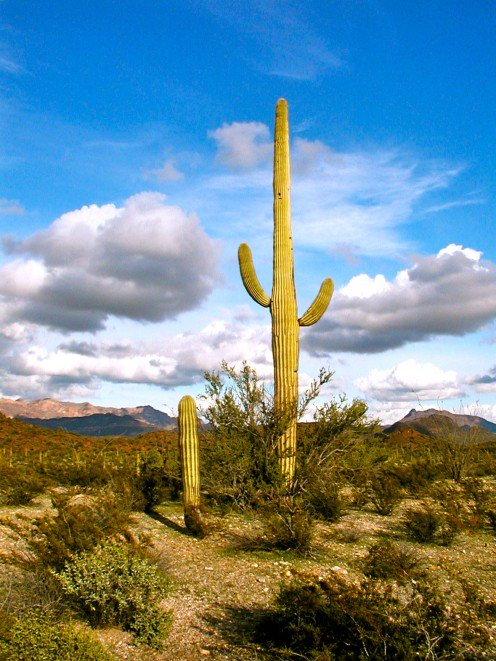 Drawn cactus desert landscape Photographs stately desert of the