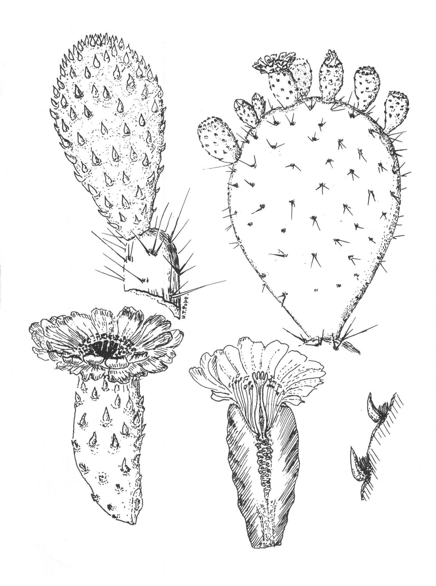 Drawn cactus prickly pear cactus Pear ideas desert  Prickly
