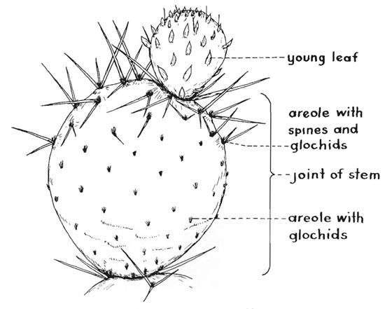 Drawn cactus prickly pear cactus Prickly of 8 Kansas School