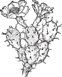 Drawn cactus prickly pear cactus Size RoomCactusSketches to Pear